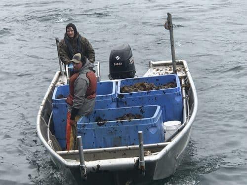 Seaweed Farmers in Alaska Gear Up for Large Haul