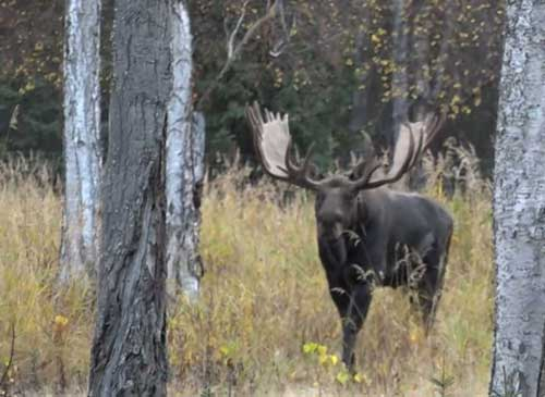 Video Remake Aims to Educate, Keep Moose Hunters Legal