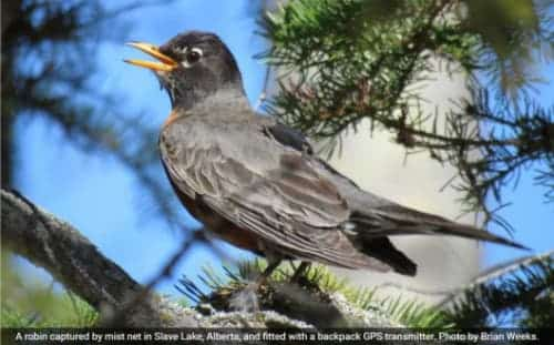 American Robins not Heading North Quite Yet