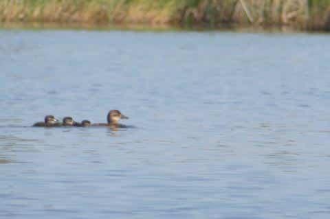 Ruddy Ducks Among Many Moving Northward