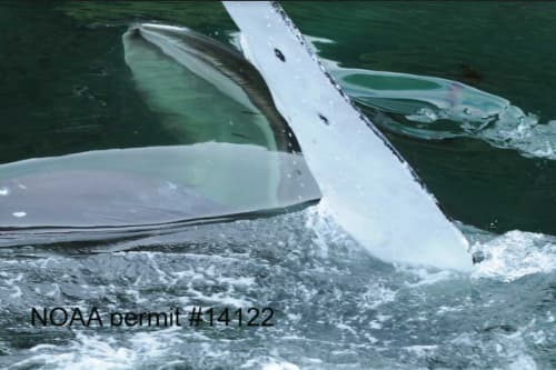 Humpback Whales Linger in Sitka Sound