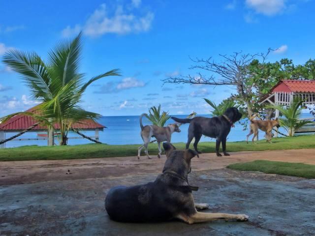 Kylän koirat, Little Corn Island