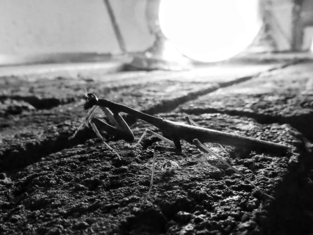 Rukoilijasirkka, Ometepe