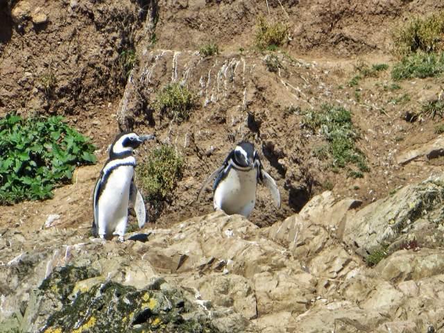 Patagonianpingviinejä.
