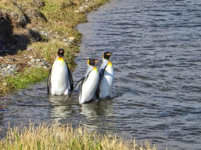 Kuningaspingviinejä