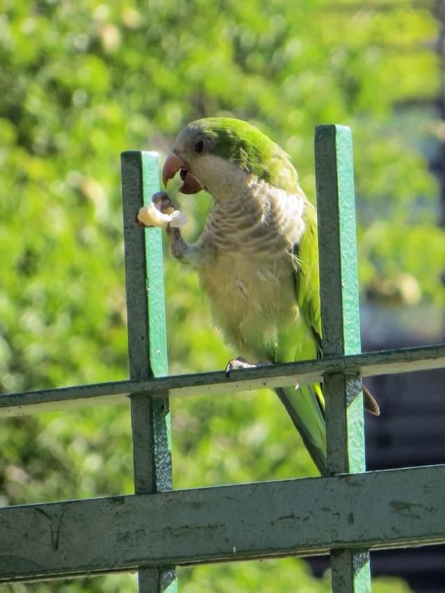 Pienet vihreät papukaijat ovat tosi yleisiä koko Argentiinassa. Tämä kaveri hengaili puistossa pulujen joukossa ja sai nopeampana napattua kunnon leivänmurun.