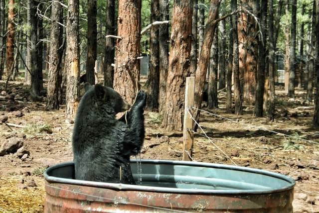 Mustakarhu kylvyssä.