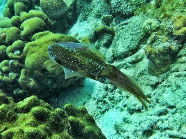 Cuttlefish. Mustekalan sukuisia seepioita olimme nähneet aikaisemmin vuosia sitten, tällä niitä näkyi suht usein.