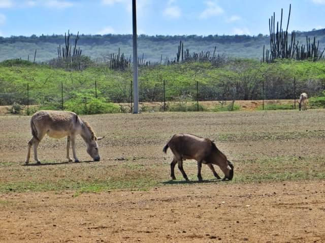 Kaktuspusikoissa vaeltelee satoja villiaaseja. Tässä aasit ja vuohet tasoittelevat porukalla paikallisen jalkapallokentän ruohoa.