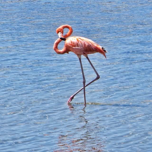 Bonairen kansallislintu on vaaleanpunainen flamingo, joita saarella pesii parhaimmillaan kymmenen tuhatta paria.