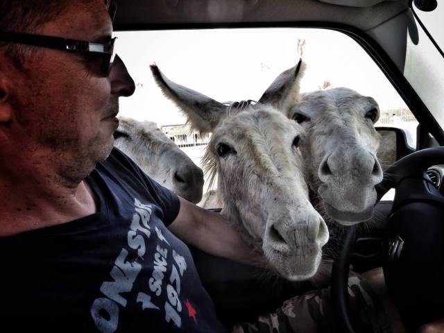 Bonaire Donkey Sanctuary huolehtii nälkiintyneistä ja sairaista villiaaseista. Kierros alueella meinasi välillä ahdistaa, kun turistien porkkanoihn tottuneet aasit piirittivät autoa kuin zombielaumat.