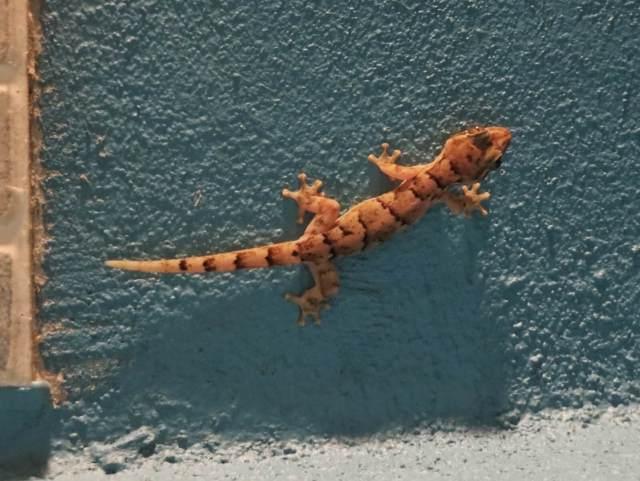 Ekolodgen seinillä partioi myös kumilelun näköisiä gekkoja.
