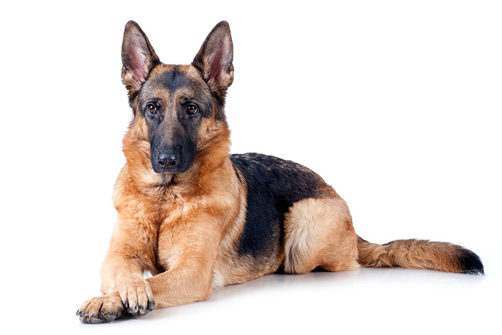 German Shepherd Alaska Dog Works