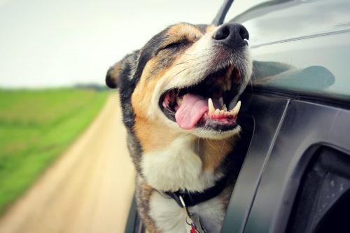 dog travel anxiety alaska dog works