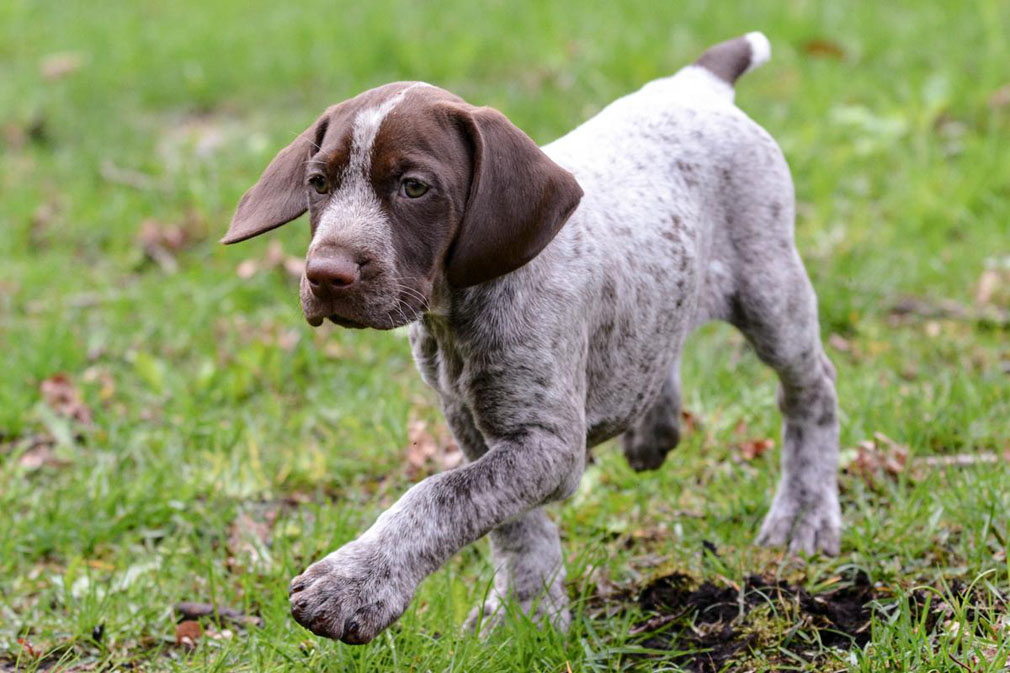 How to Train a German Shorthaired Pointer – Alaska Dog Works