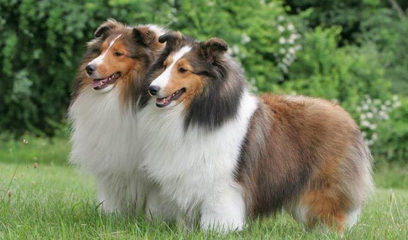 shetland sheepdog alaska dog works