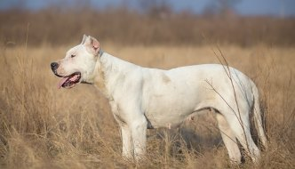 How to Train a Dogo Argentino
