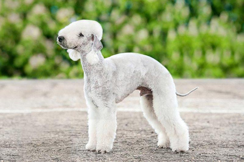Bedlington-Terrier-alaska dog works