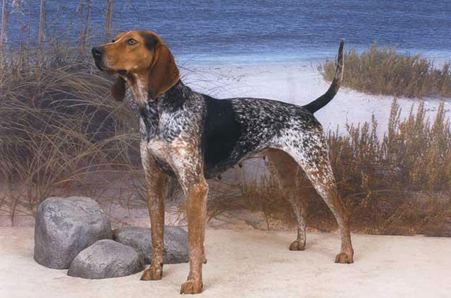 How to train a American English Coonhound