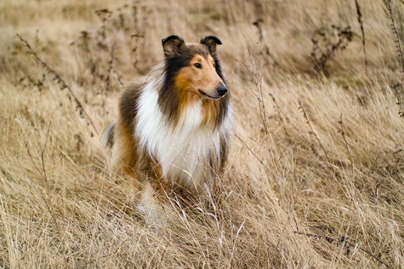 Collie alaska dog works