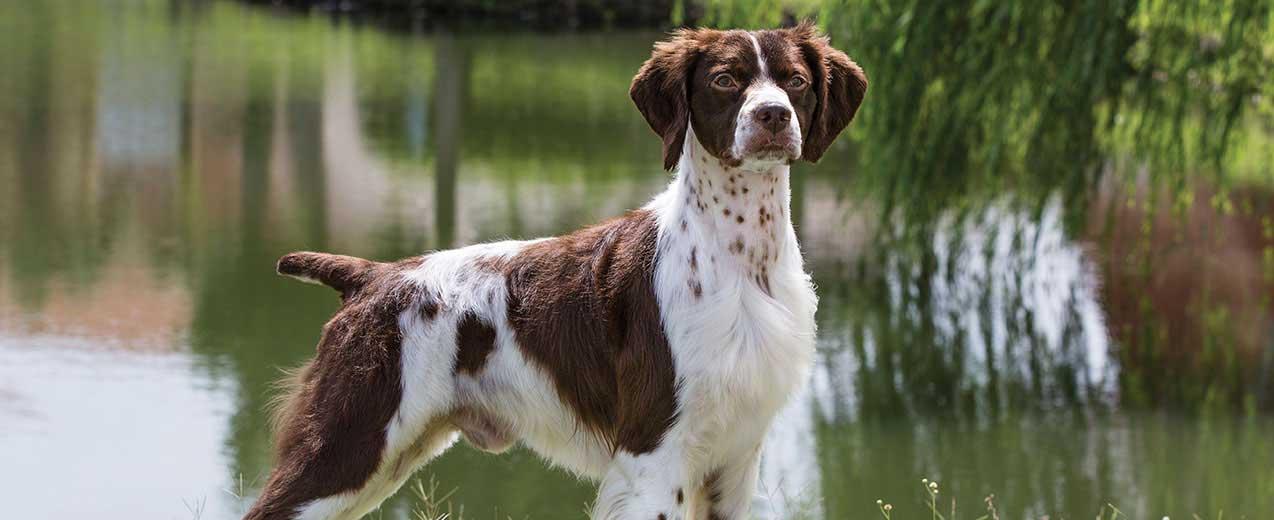 brittany-spaniel-alaska dog works