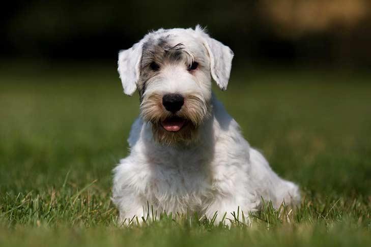 Sealyham Terrier Alaska Dog Works