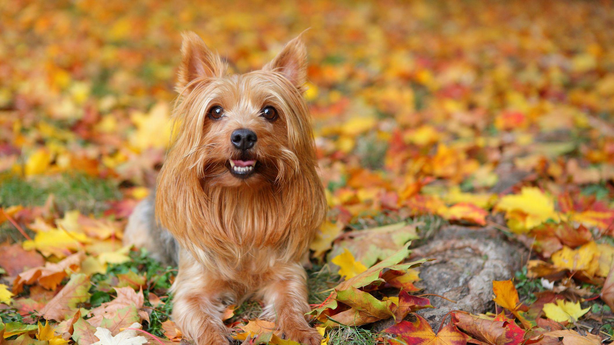 SilkyTerrier-alaska dog works