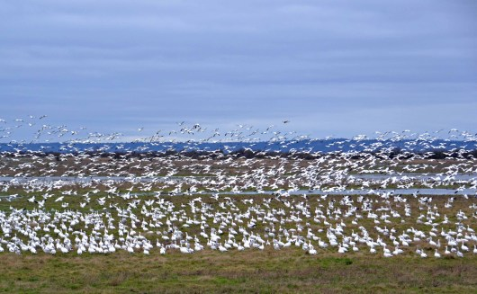 Field of Snow Geese