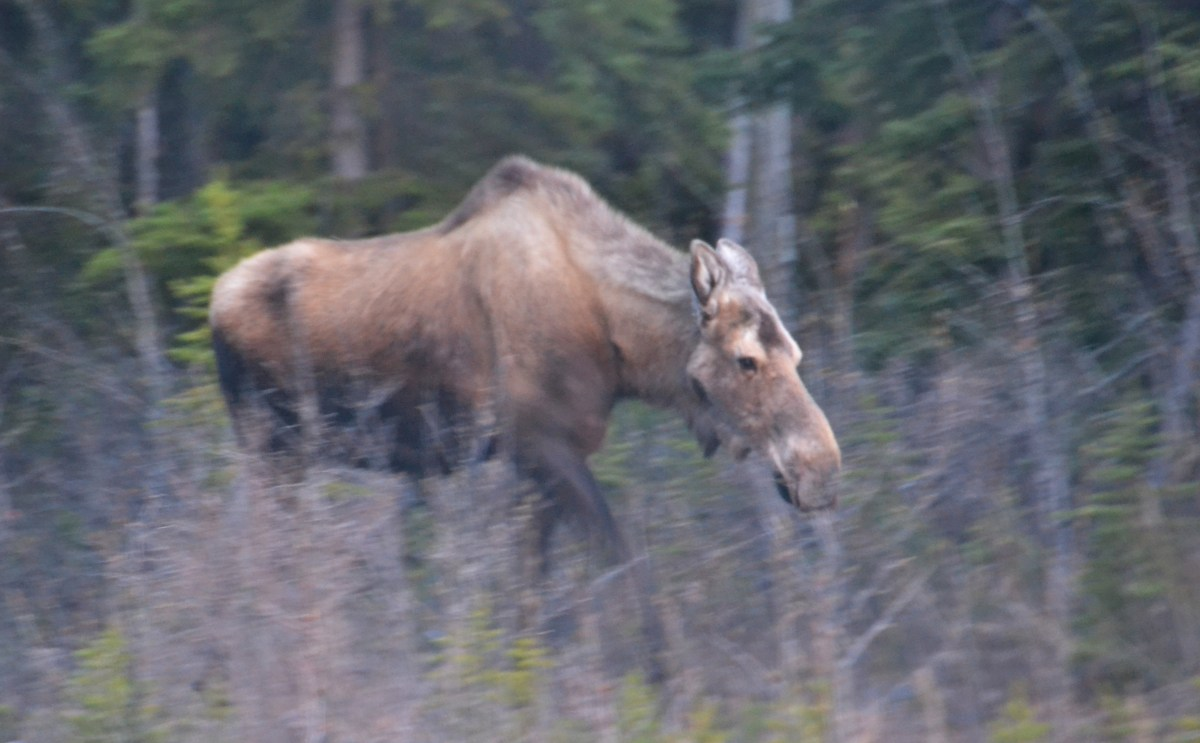 Moose Gone Wild in Denali National Park and Preserve