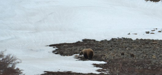 DNP - Grizzly Sow and Cubs
