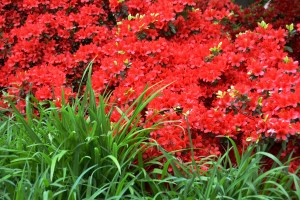 Red Azalea and Green Grass
