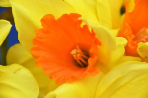 Yellow and Orange Daffodil at Farmers Market