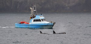 Offshore Orcas with Research Boat