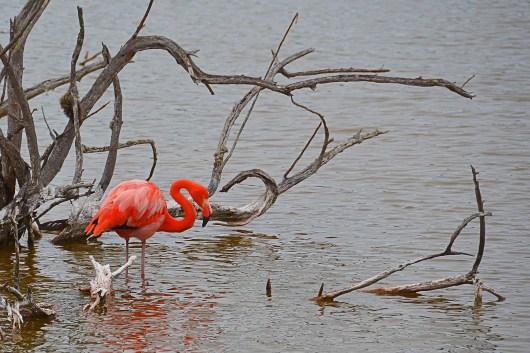 Flamingo at Galapagos Ecuador