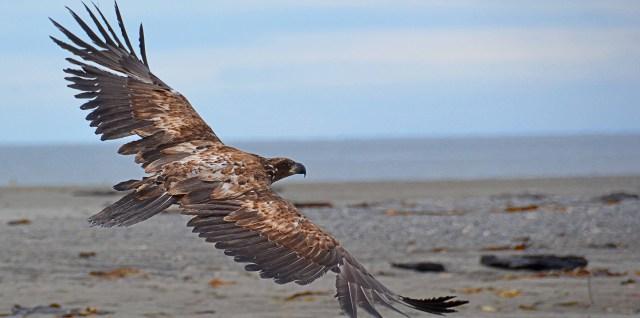 Immature Eagle at Deep Creek Alaska