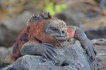 Marine Iguana at Galapagos Ecuador