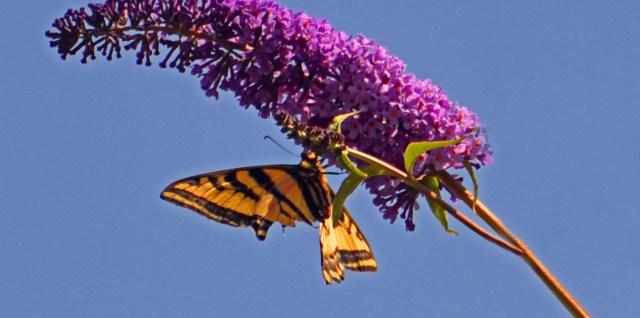 My Butterfly Bush Doing Its Job