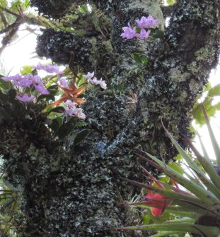 Wild orchids and bromeliads nestle in tree branches