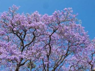 Jacaranda, jacaranda mimosifolia
