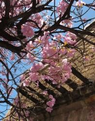 Primavera rosa, Amapa rosa, tabebuia rosea