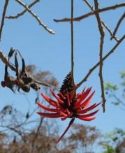 Colorín, Tzompantle, erithrina americana