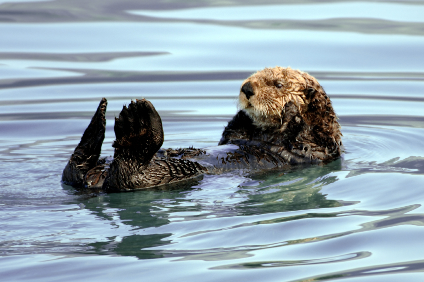 Alaska Wildlife - otter