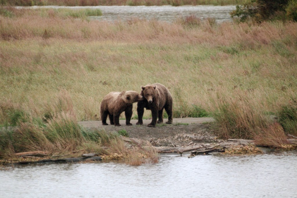 Grizzly sow and cub in Katmai National Park
