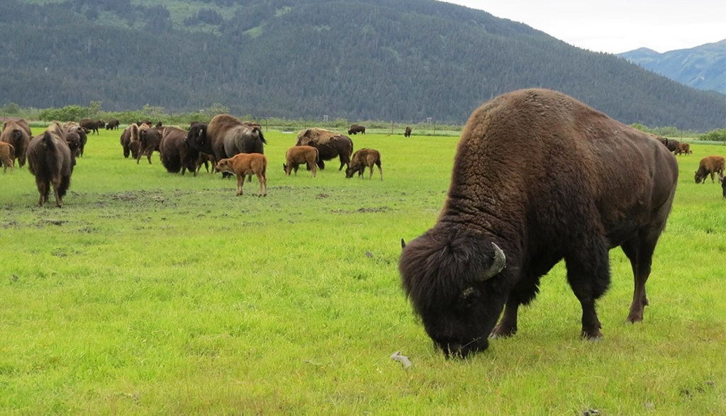 Alaska wildlife wood bison