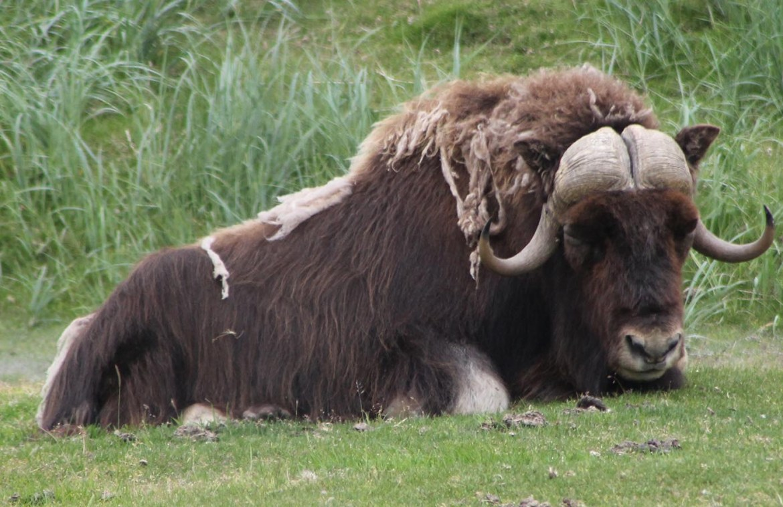 Musk ox Alaska