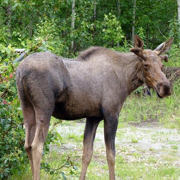 Alaskan wildlife - moose