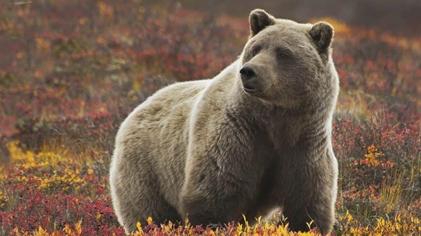 grizzly bear, Denali NP tour