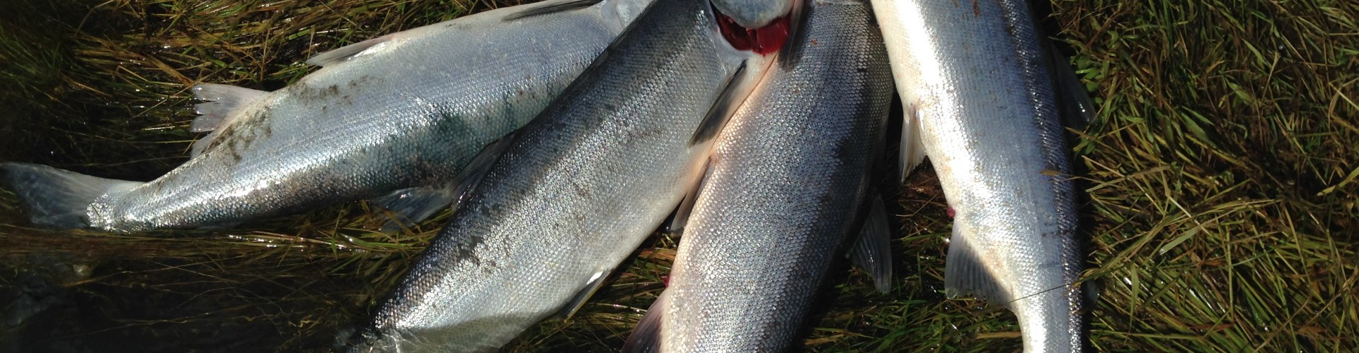Lower Kenai filling with red salmon