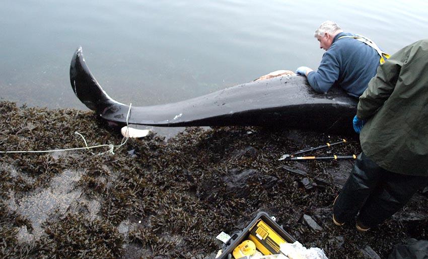 whale stranding