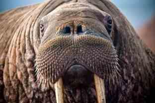 walrus-closeup-pixabay-public-domain-lg